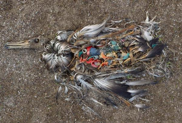 See more photographs of remains of albatross chicks on the midway