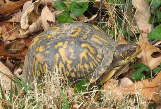 backyard wildlife turtle curious cat science and engineering blog