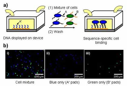 images of cell adhesion system