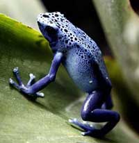 photo of blue poison frog