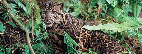 photo of Bornean Clouded Leopard