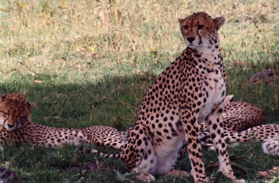 photo of 4 cheetahs in Kenya