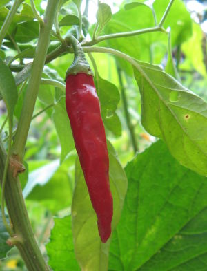 photo of Red Hot Pepper by John Hunter