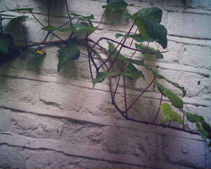 photo by Jacquie the cat of a vine
