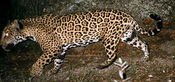 photo of jaguar at night in Arizona