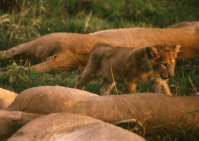 photo of lion cub in Kenya
