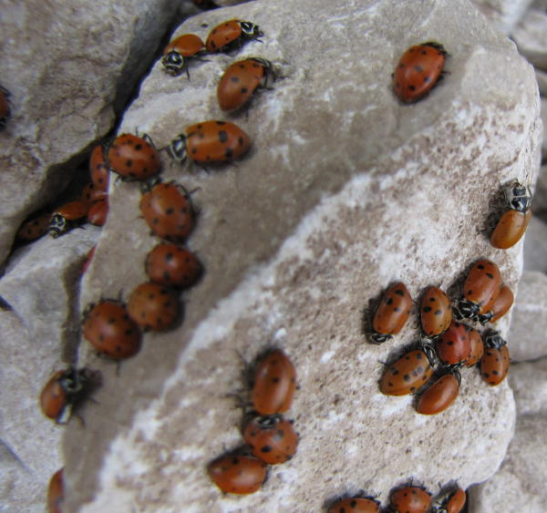 Ladybugs crawling on rocks in Guadalupe Mountains National Park