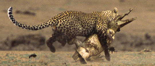 photo of a leopard killing a crocodile