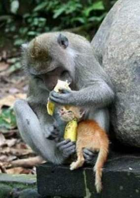 photo of a baboon eating bananas and holding a kitten