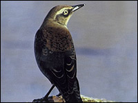 photo of a Rusty Blackbird