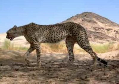 photo of Saharan Cheetah