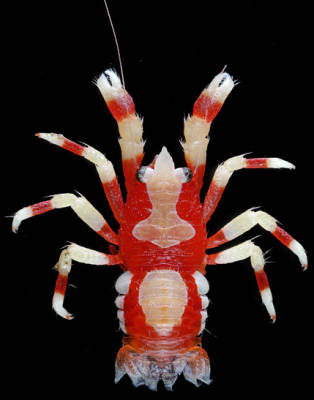 photo of squat lobster