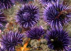 Sea Urchin photo