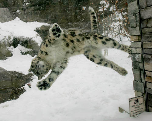 Snow leopard playing in the snow in ohio