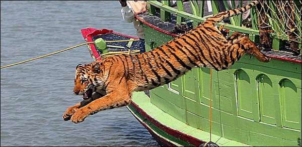 photo of leaping tigress