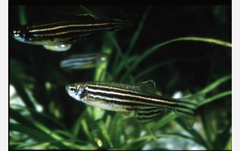 Zebra Fish photo