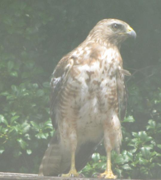 photo of a hawk on my deck