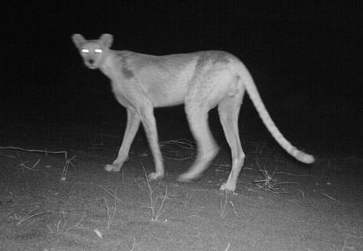 Camera trap photo of Saharan cheetah at night