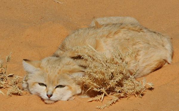 photo of a sand cat in Niger