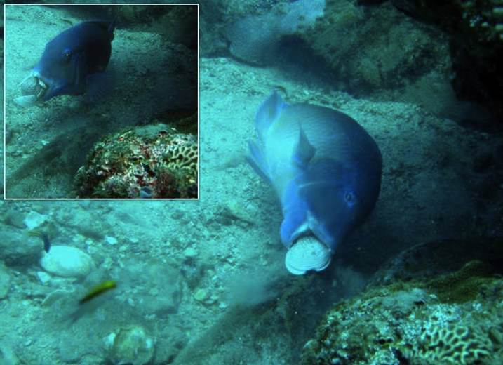 photo of a blackspot tuskfish using a rock to crack open a clam
