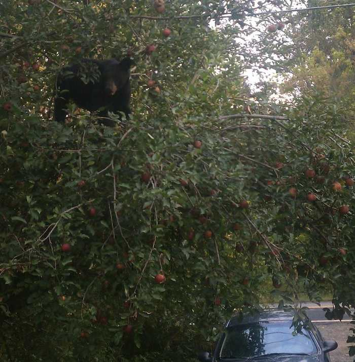 photo of a black bear in an apple tree