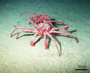 photo of giant red king crab