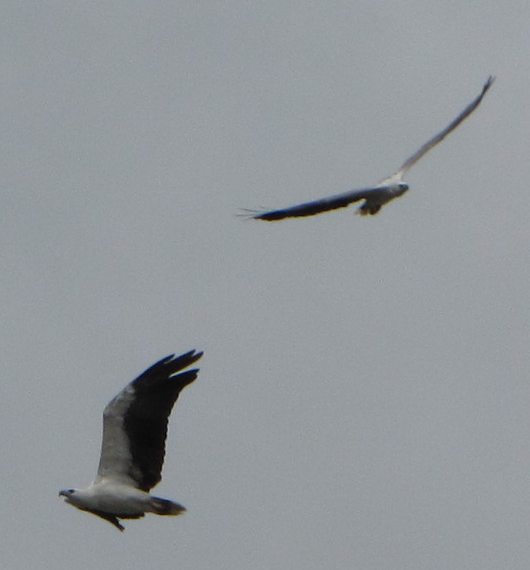 photo of 2 raptors soaring in the sky