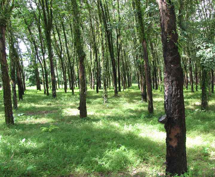 photo of rubber trees