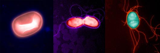 images of E. coli bacteria, salmonella typhimurium and burkholderia thailandensis