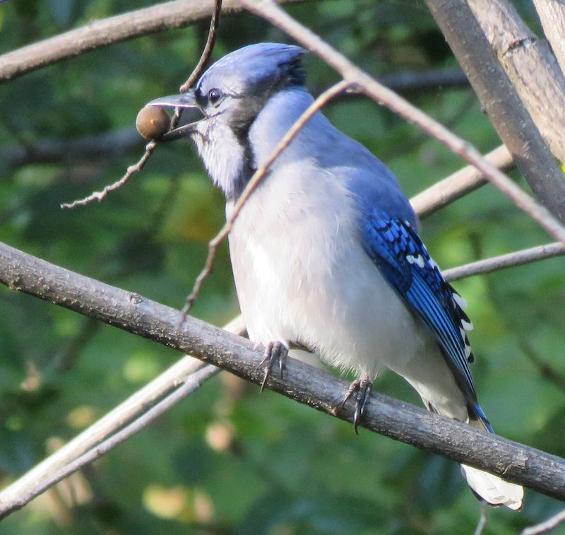 photo of a blue jay with a berry in its beak