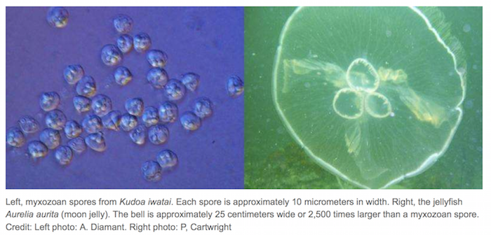 images of myxozoans parasite spores and a jellyfish