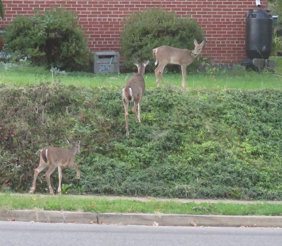 3 deer in neighbor's yard