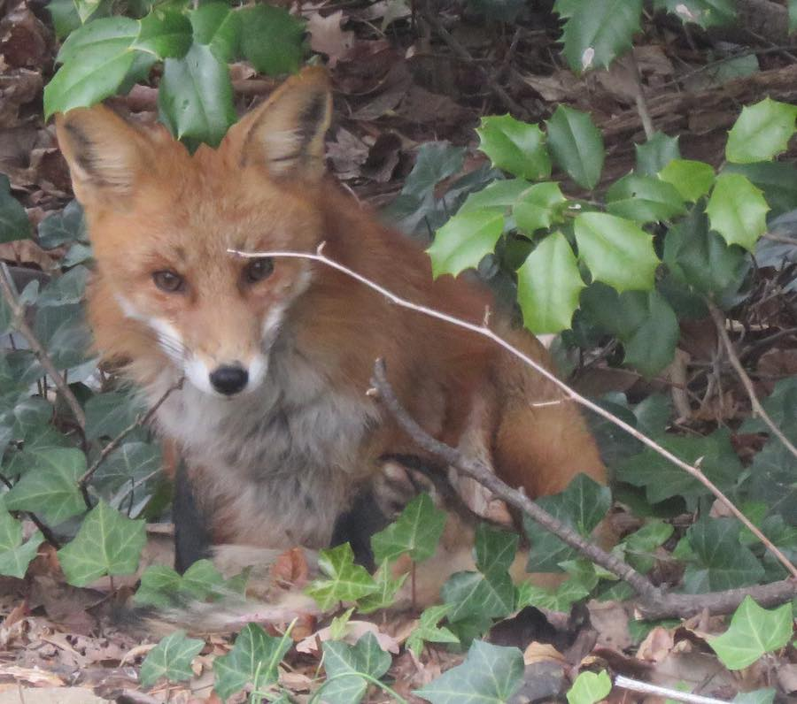 photo of a fox in ivy under a holly tree