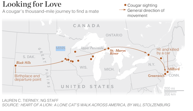 image of map showing the cougar's path across usa