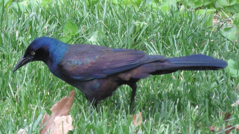 Great tailed grackle, stalking in grass
