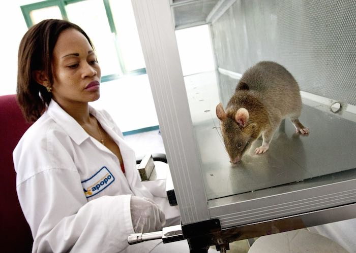 Photo of Hero-rat detecting TB in Mozambique with Apopo staff person