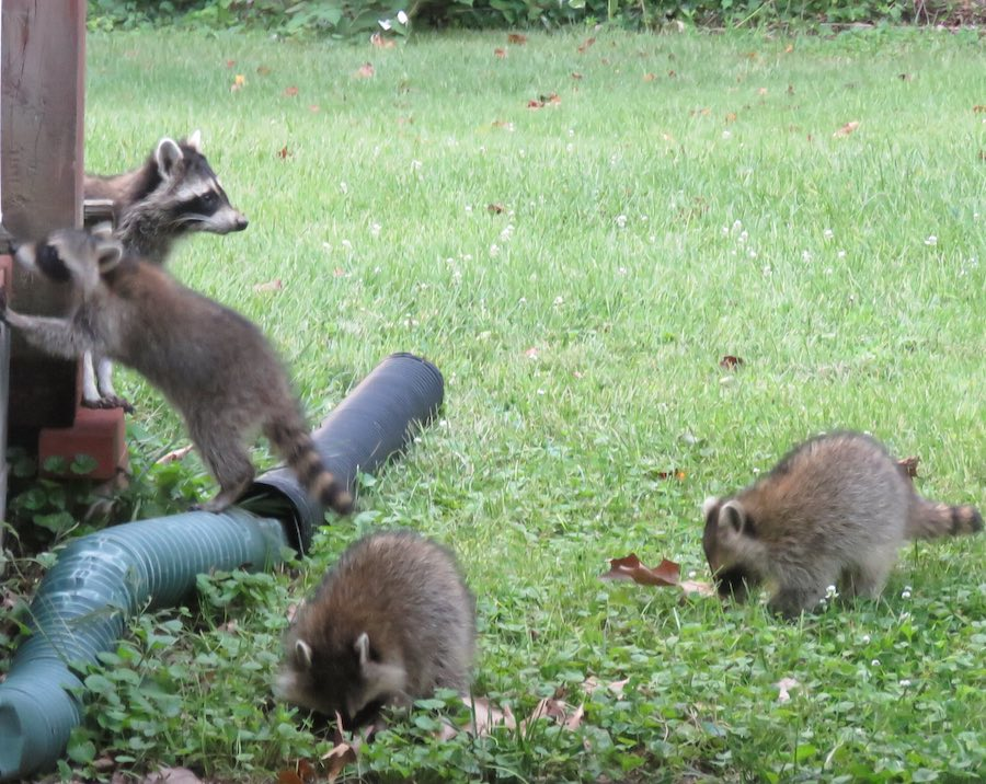 Mother raccoon with 3 babies