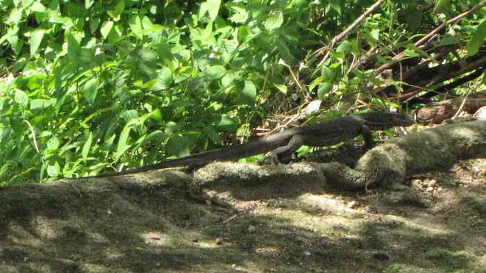Full view of lizard: over 1 meter long